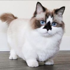 17 Unusual Animals Creatively Colored by Nature Munchkin Cat Scottish Fold, Munchkin Kitten, Cute Kittens, Cats And Kittens, Ragdoll Cats, Kitten Photos, What Cat, Cat Stands, Cats Musical