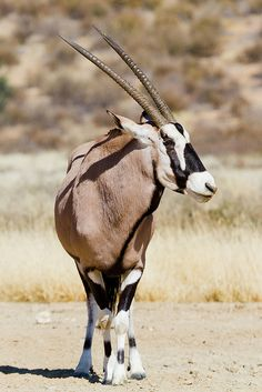 Gemsbok National Park Source by hdraffin Animal 2, Mundo Animal, Nature Animals, Animals And Pets, Wildlife Photography, Animal Photography, Indian Animals, African Animals, What Animal Are You