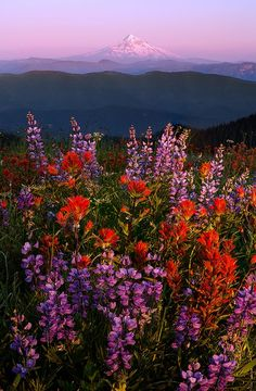 Hill with a view - These are flowers and that is Mt Hood! By Henrik Anker Bjerregaard Lundh iii. Nature Aesthetic, Flower Aesthetic, Photo Wall Collage, Picture Wall, Aesthetic Iphone Wallpaper, Aesthetic Wallpapers, Aesthetic Pictures, Pretty Flowers, Exotic Flowers