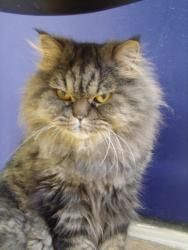 Mahi Mahi is an adoptable Persian Cat in Cumming, GA. Hi! My name is Mahi Mahi. I'm a handsome male tabby Persian born around 6/20/07. I have the most gorgeous golden eyes you can imagine. Currently I...