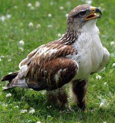 Hawk Bird on the ground