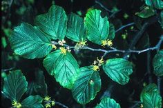 Witch Hazel extract has astringent, antiseptic, anti-inflammatory, antimicrobial, antibacterial, antifungal, and anesthetic properties. Medicinally used for bedsores, bruises, eczema, insect bites, hemorrhoids, poison ivy or oak, bruises, sore muscles, swelling, psoriasis, cracked or blistered skin, diaper rash, windburn, sunburn. Cosmetically used as an aftershave or a facial astringent, is beneficial for oily/dry skin, commonly in anti-aging products and products for blemished/acne-prone skin.