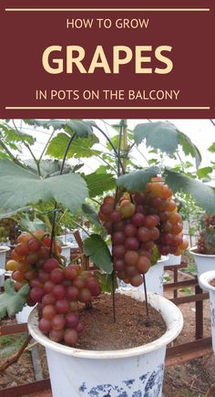 Bed room inspo How To Develop Grapes In Pots And Balcony Article Physique: Flowering panorama bushes Potted Fruit Trees, Fruit Trees In Containers, Fruit Tree Garden, Dwarf Fruit Trees, Growing Fruit Trees, Growing Grapes, Veg Garden, Fruit Plants, Growing Plants