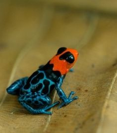 The Blessed Poison Dart Frog - Ranitomeya Benedicta Funny Frogs, Cute Frogs, Unusual Animals, Cute Animals, Amazing Frog, Frog Pictures, Paludarium, Vivarium, Poison Dart Frogs
