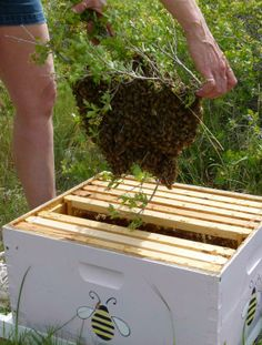 With a good strong shake, the ball of bees all fall into the hive.