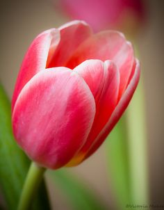 eyesfornature:    tulips  by vrose*  on Flickr