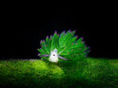 Морской слизняк, который похож на овечку :) Это прелестное маленькое существо с глазками-бусинками и усиками-рецепторами питается водорослями и похоже на мультяшную овечку. На самом деле это морской слизень Costasiella kuroshimae (или Leaf Sheep). Эти слизни вырастают всего лишь до 5 мм в длину. Их можно обнаружить рядом с Японией, Индонезией и Филиппинами. Это одни из немногих животных в мире, которые могут осуществлять фотосинтез.