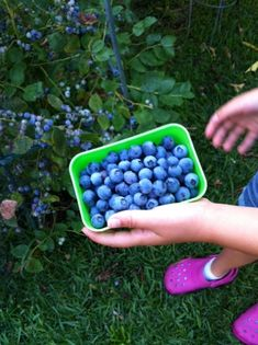 How to Grow Blueberries | Melissa's Healthy Living