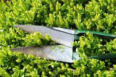 Guide to Pruning Your Boxwood Hedge - Life123