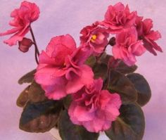 Jolly Victory.  Semiminiature African violet.  Grows really well.