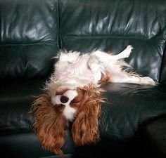 Cavalier King Charles Spaniel with the couch all to herself to stretch out on, but for some reason prefers hanging over the edge Cavalier King Spaniel, Cavalier King Charles Dog, King Charles Spaniel, Cute Puppies, Cute Dogs, Animals Beautiful, Cute Animals, Spaniel Puppies, Dog Breeds