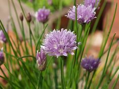 Chives are a long last perennial herb that can be divided every few years & given to friends and family.  Nothing perks up a boring dish like a sprinkling of freshly chopped chives.