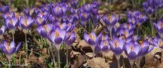 """Crocus Bulbs cultivar """"Tommies"""" top layer for my bulb pot #1"""