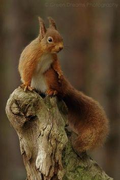 Red Squirrel - Cairngorms - Scotland
