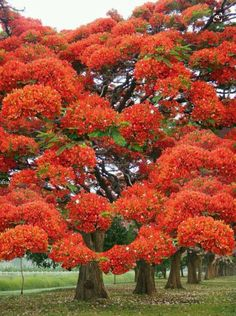 Just extraordinary! Poinciana Tree in flower Beautiful Landscapes, Beautiful Gardens, Beautiful Flowers, Delonix Regia, Unique Trees, Colorful Trees, Bonsai, Flame Tree, Nature Tree