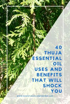 What is Thuja Essential Oil? Thuja is a genus of five hardy, evergreen coniferous trees and shrubs native to North America and Canada (T. occidentalis, white cedar, and T. plicata, Western red cedar), Japan (T. standishiz),
