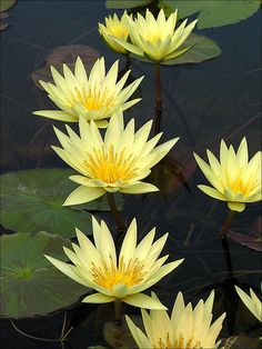 Gorgeous Yellow Water-Lily: Nymphaea [Family: Nymphaeaceae] - Flickr - Photo Sharing! #yellow waterlilies