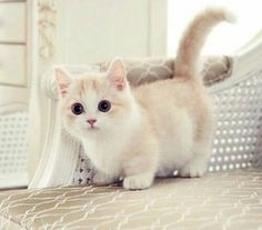 Munchkin Cat; I would love to own one of these along with a wiener dog to match! ;D