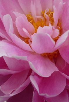 Peony Petals by Julia Folsom, via Flickr