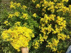 St. John's wort, also herb-medicinal plant https://en.wikipedia.org/wiki/Hypericum_perforatum