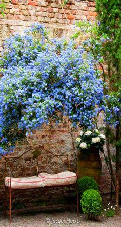 blue Ceanothous