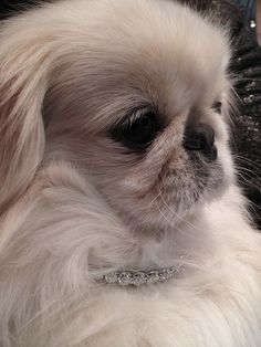 White Pekingnese Wearing 80,000 dollar diamond necklace with a total of 40 carats. wowza.