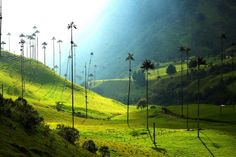 The highest palm trees in the world can be seen in the valley of Cocora Colombia.