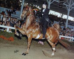 Hometown Hero...American Saddlebred English Tack, Hometown Heroes, American Saddlebred, Modern Pictures, Horse Breeds, Beautiful Horses, Barns, Dreams, Amazing
