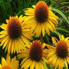 Maui Sunshine cone flower... It seems like I might be getting quite a collection of coneflower :)