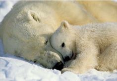 A stunning National Geographic image of a polar bear cub, cuddling with its mama bear becomes an irresistible wall mural. Perfect as a kids mural, or for any nature lover, this polar bear wall art cap
