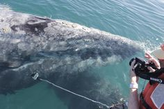 Travels: Mother and baby gray whale in Baja.