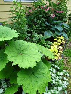 Foliage plants are important to the garden, as they provide interest long after flowers are finished blooming. (Astilboides, Lamium, Hosta, Heuchera, Aconitum, Dicentra)