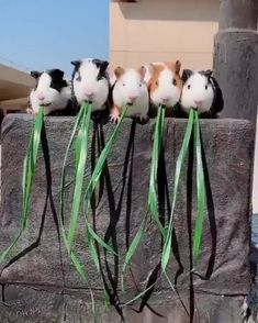 Animals Discover Hungry little fuzzies! Cute little fuzzies too! Cute Funny Animals Cute Baby Animals Funny Cute Animals And Pets Animal Memes Funny Animal Videos Cute Guinea Pigs Hamsters Rodents Funny Animal Videos, Cute Funny Animals, Funny Animal Pictures, Animal Memes, Cute Baby Animals, Funny Cute, Animals And Pets, Hilarious Pictures, Cute Guinea Pigs