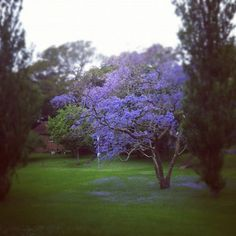 I have a huge love of Sydney's Jacaranda season...my only complaint that it is much too short!