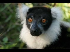 Lemurs are primitive primates known as pro-simians, or pre-monkeys. They live in large female-dominated family groups, in sharp contrast to most other male-d. Madagascar, Animals Beautiful, Cute Animals, My Father's World, Lemurs, Cultural Studies, Primates, Indie Brands, Panda Bear