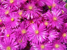 Briantemo (fiori fucsia) | Flickr - Photo Sharing!