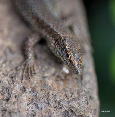 ITAP of a wall lizard http://ift.tt/2myugBW