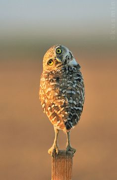 Stop standing behind me! Burrowing owl (Athene cunicularia)