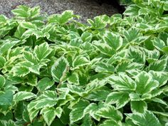 Aegopodium - Fastest growing, drought tolerant ground cover for tough spots! Thrives with Hardy Ferns, Hydrangeas, Heuchera, & Hostas