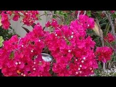Learn how to grow bougainvillea from cuttings, follow the simple step by step instructions for high propagation success.