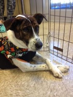 Sake is an adoptable Hound searching for a forever family near Columbia, SC. Use Petfinder to find adoptable pets in your area.