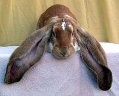 The next-biggest lop-eared rabbit is the English Lop, which can weigh as ...  piperbasenji.blogspot.com