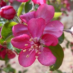 A broad, rounded crabapple with deep pink flowers in late April, the leaves of 'Adams' emerge reddish tinged in spring and mature to green Spring Colors, Spring Flowers, Spring Photography, Purple Lilac, Peach Colors, Color Themes, Garden Inspiration, Bright Pink, Raspberry