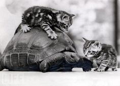 cats and turtles?? I'm in heaven!! that is the cutest thing i've ever seen; it is seriously cute! 2 lil kitties AND a turtle!