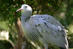 The Blue Crane (Anthropoides paradiseus), also known as the Stanley Crane and the Paradise Crane, is the national bird of South Africa. (photo by Charlesjsharp) National Animals Of Countries, Pretty Birds, Beautiful Birds, Vulnerable Species, Birds In The Sky, Before The Fall, My Land, Colorful Birds, Crane