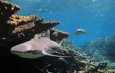USF&W: Kingman Reef Refuge supports healthy marine life like the blacktip reef shark: Black Tip Shark, Win A Wedding, Destination Wedding, American Islands, Adventure Magazine, Marine Ecosystem, Reef Shark, Marine Conservation, Sea Fish