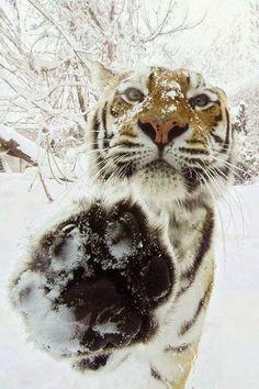 simply beautiful! I just adore, adore, adore, adore tigers! Did I mention I adore tigers? ;)