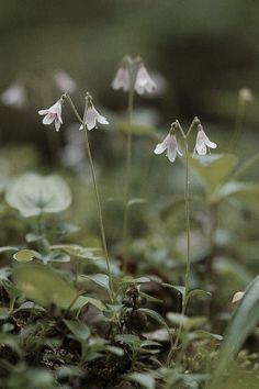 ~ Twin Flower ~