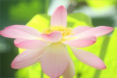 Lotus Flower - IMG_2379 by Bahman Farzad, via Flickr