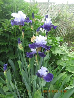 iris have been a favorite in my garden since I fell in love with them at Grandma's house.